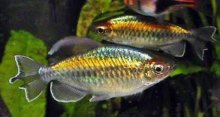 Jenis Ikan Hias Air Tawar | Akuarium Ikan Hias