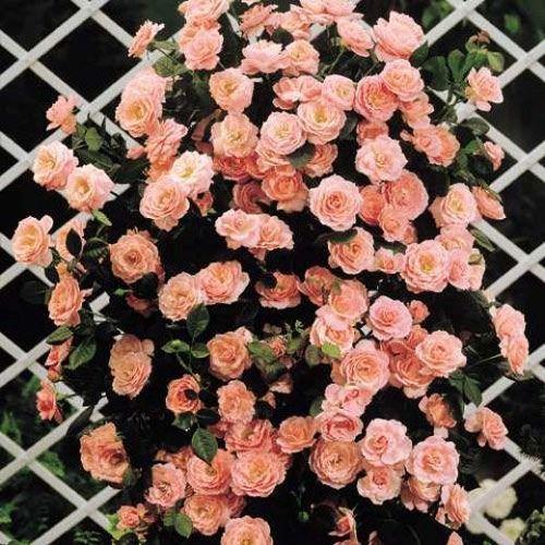 Роза плетистая Глория Клайминг - http://domicad.com.ua/
