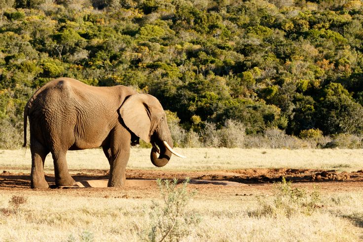 Water is Life - African Bush Elephant Water is Life - The African bush elephant is the larger of the two species of African elephant. Both it and the African forest elephant have in the past been classified as a single species.