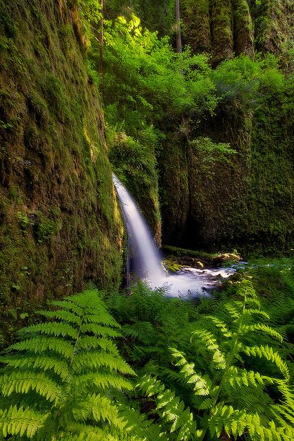 Ferns and Moss - Emerald Green World, Columbia River Gorge, Oregon