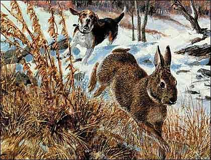 (I thought a story about hounding rabbits would sit well next to a story about hounding bears.)  I started to learn about rabbit hunting ...