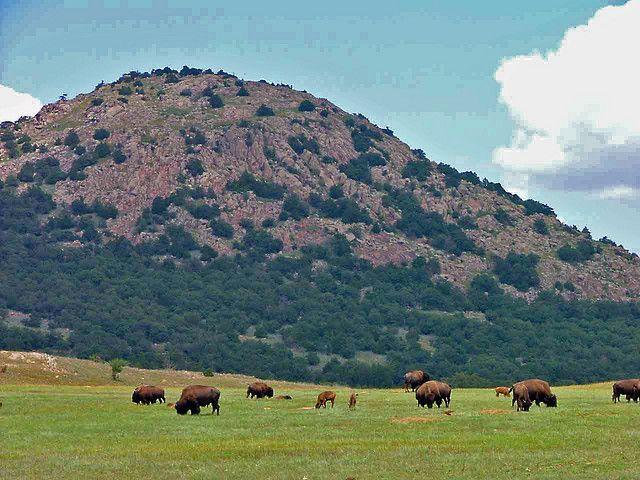 mount scott oklahoma   buffalos grazing near Mount Scott Oklahoma   Flickr - Photo Sharing!