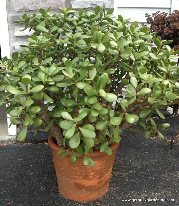 how to grow a jade plant big