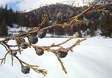 Juniperus macropoda - Wikipedia  Oldest tree in the world.