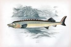 THE HUSO - EUROPEAN BELUGA STURGEON print