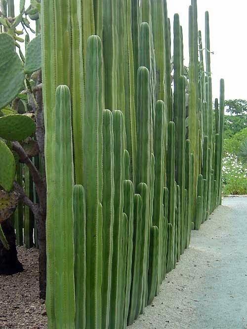 Cacti fence at Oaxaca Botanical Garden, Mexico