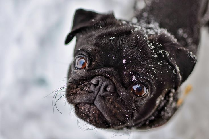 Photo idea for pug, because it's hard taking photos of black dogs.