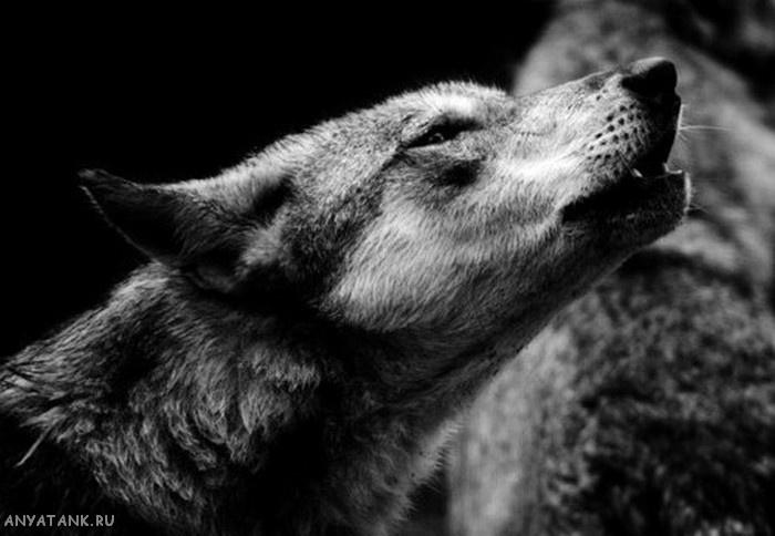 Воющий волк. Красивое фото. Черно-белые фото