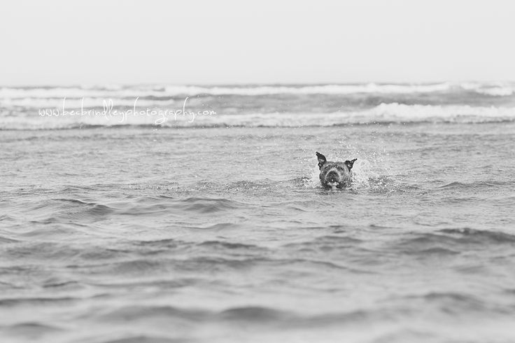 Dog Photography - Blue Amstaff  Bec Brindley Photography