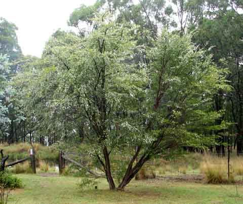 "Leptospermum Petersonii ""Lemon Scented Tea Tree""  http://sharynmunro.com/wp-content/uploads/2011/02/lemon-tea-2.jpg"