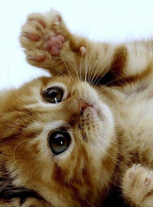 صور قطط باقة مختارة من أروع و أجمل القطط مع خلفيات Hd Cute Animals Kittens Cutest Baby Animals