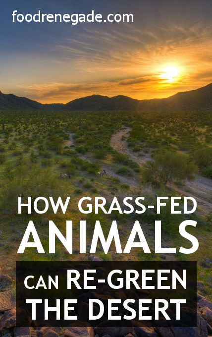 Holistically-managed, grass-fed cows can save the planet! Neat video about how mimicking nature with grazing animals can not only reverse desertification, but also global warming. Grass-fed #animals make nutrient-dense #food as well!