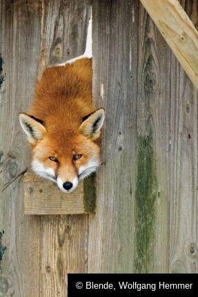 Epic Fuchs im H hnerstall mit vollem Bauch ein Problem Tierische Momente Blende Galerien