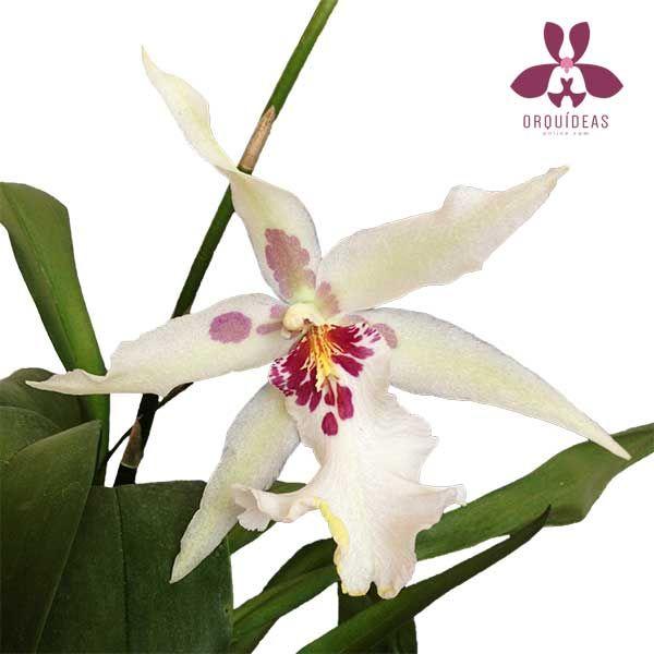 Orquídea Beallara, híbrido en Orquídeas Online