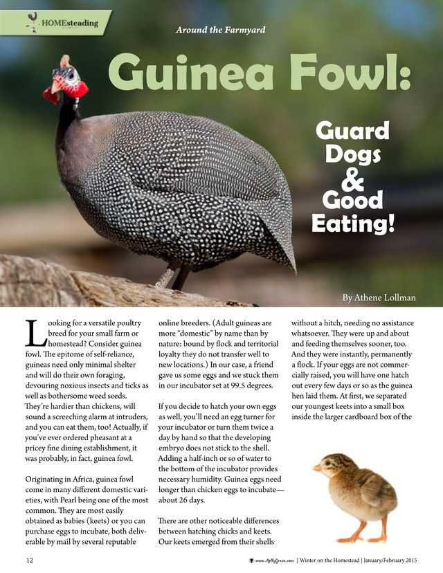 """Guinea Fowl: Guard Dogs & Good Eating! by Athene Lollman. """"Looking for a versatile poultry for your small farm or homestead? Consider guinea fowl. The epitome of self-reliance, guineas need only minimal shelter and will do their own foraging, devouring noxious insects and ticks, as well as bothersome weed seeds."""" Molly Green - January/February 2015 - Page 12"""