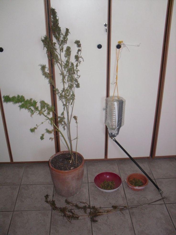 Θήβα - Συνελήφθη 28χρονος για καλλιέργεια δενδρυλλίων κάνναβης Διαβάστε περισσότερα » http://thivarealnews.blogspot.com/2014/10/28.html