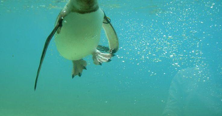 ¿Cómo nadan los pingüinos? . La mayoría de las especies de pingüinos nadan juntas, en grupos pequeños o grandes, cuando buscan comida. Algunos pingüinos pasan casi 3/4 de su vida en el agua. Algunas especies de pingüinos, como los de penacho amarillo y los macaroni, usan la técnica de respiración de marsopa mientras nadan. Nadan justo por debajo de la superficie y saltan ...