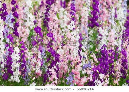Larkspur...brightness, lightness, and levity.   Pink...fickleness. Purple...Haughtiness.