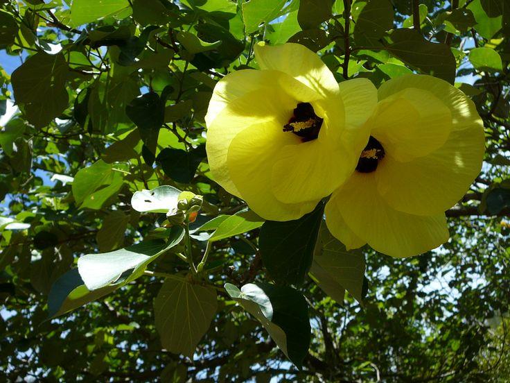 Cotton tree flower Russell Island