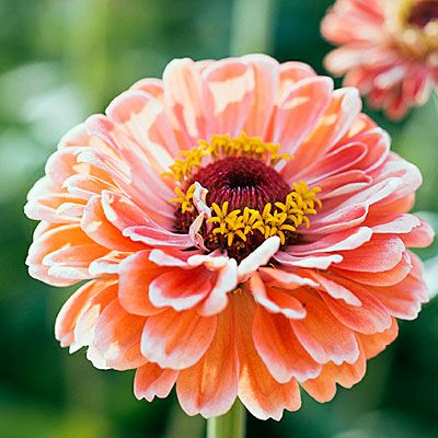 12 Best Flowers to Grow for Cutting {Pictured is 'Benary's Salmon Rose' Zinnia, bred to be mildew resistant} | Sunset