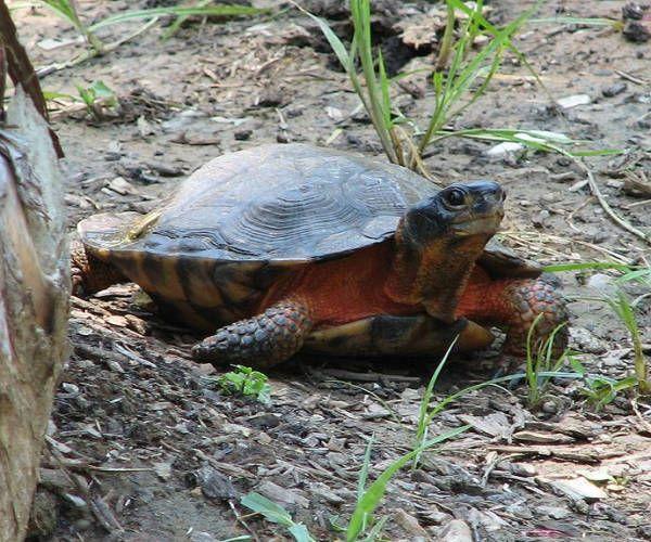 Scheda della tartaruga semi acquatica Glyptemys insculpta: wood turtle. Caratteristiche, vita in natura, alimentazione di una specie a rischio.