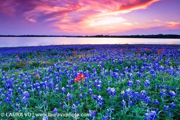 bluebonnet heavenPhotography Bluebonnets, Texas Wildflowers, Spectacular Photography, Vu Photography, Texas Travel, Texas Sunsets, Texas Bluebonnets, Landscapes Photography, Laura Vu