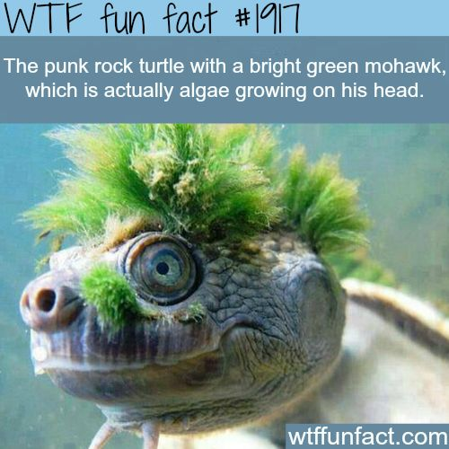31917 - The punk rock turtle with a bright green mohawk, which is actually algae growing in his head #funfactfriday