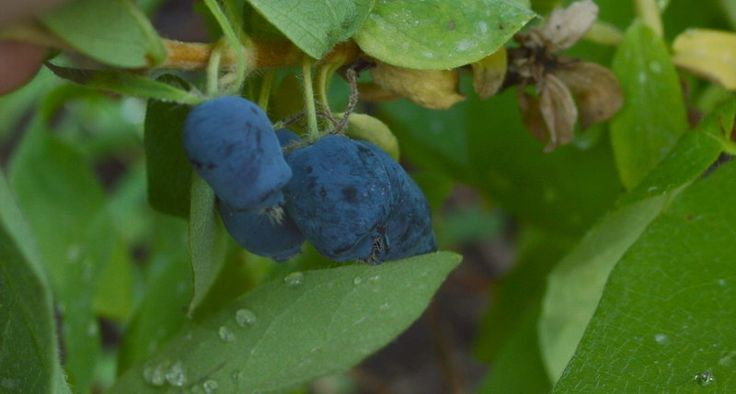 Haskaps: A Northern Climate Fruit Similar to Blueberry