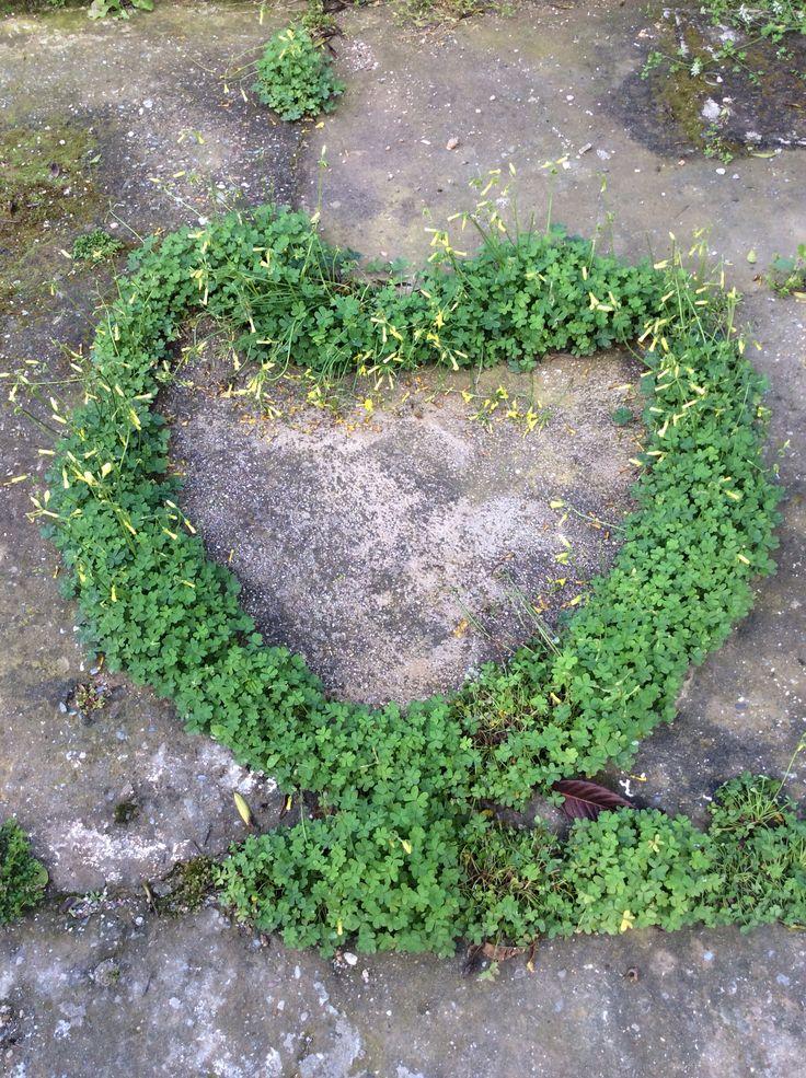 Καρδιά από.....τριφύλλι