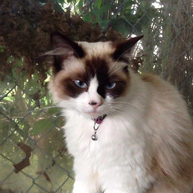Beautiful Ragdoll Lulu #cat