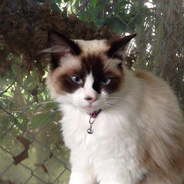 Beautiful Ragdoll Lulu #cat