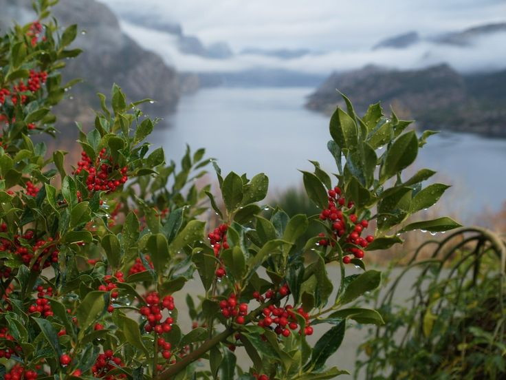 Ilex (Holly) and Lysefjorden with fog and clouds. Starts feeling like Christmas time! November 15th 2015