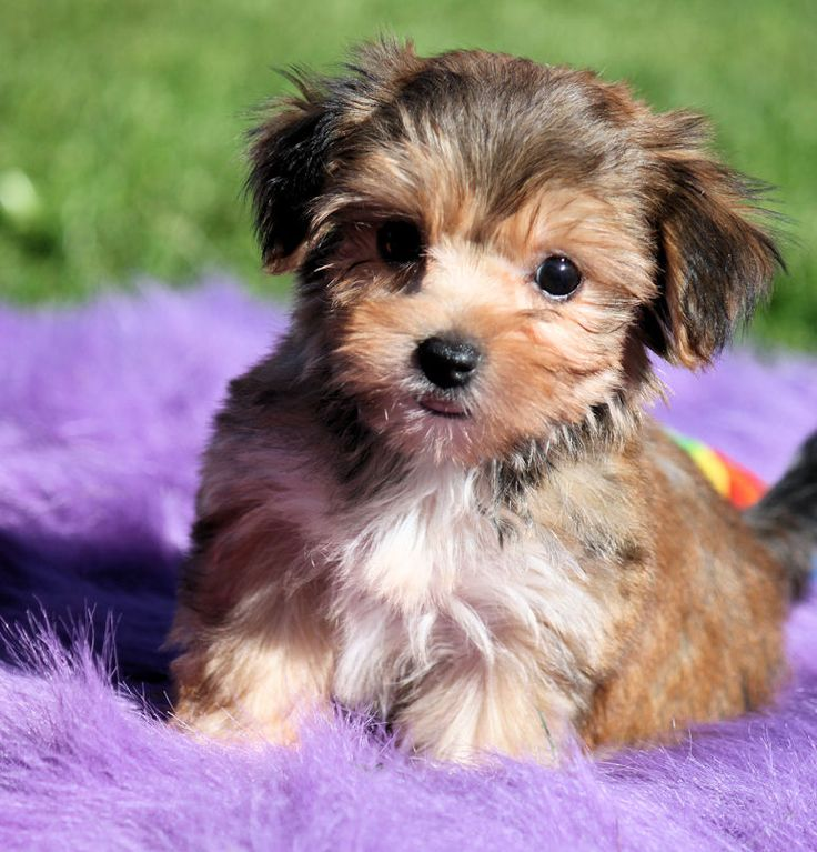 Morkie puppy :) these are so adorable and would love one some day