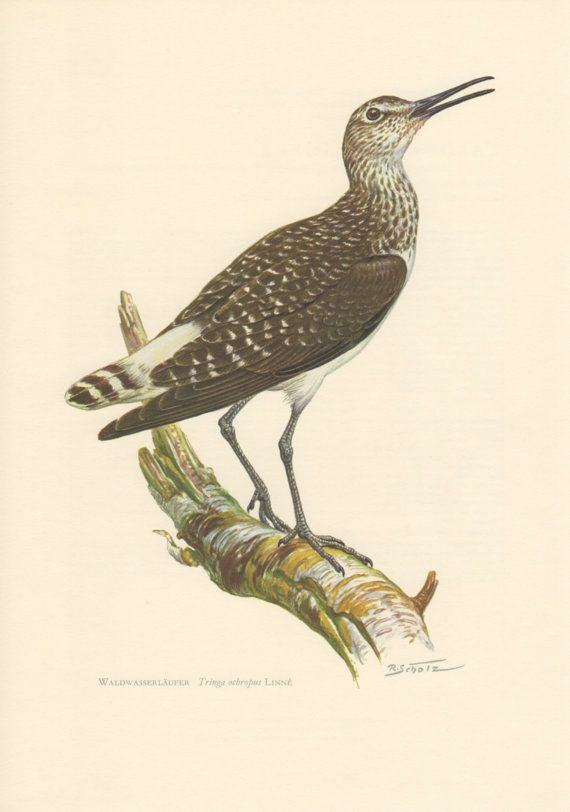 1956 Green Sandpiper Antique Print Vintage by Craftissimo on Etsy, €12.95