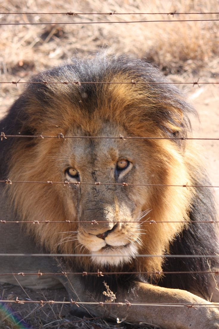 #lion south #africa