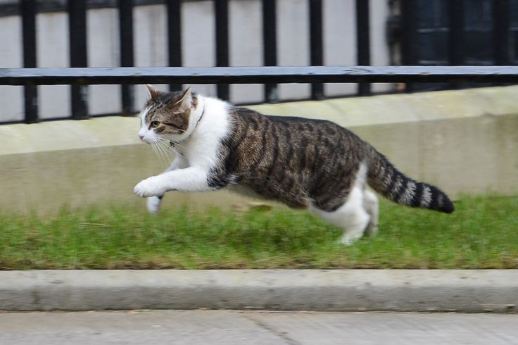 Downing Street cat Larry will stay at Number 10 when Theresa May becomes Prime Minister (Evening Standard 12 July 2016)