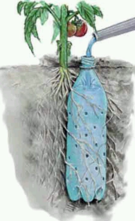 Irrigate a tomato plant w/ a re-purposed soda bottle.