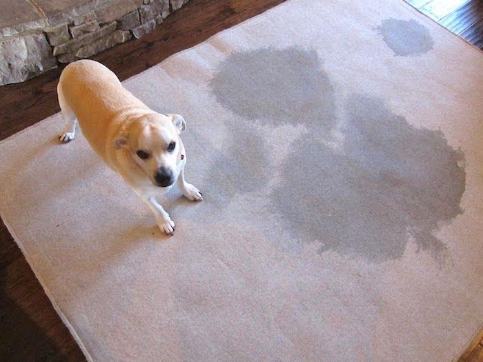 Les 3 Meilleures Astuces pour Nettoyer l'Urine d'Animal sur vos Tapis.