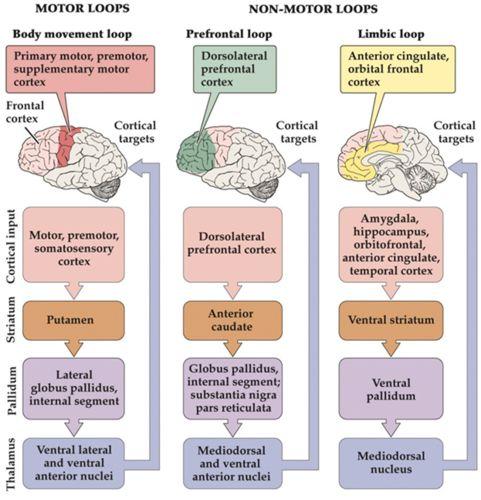 Neurobiology Final03: Motor Control II: Basal Ganglia and Cerebellum Flashcards | Quizlet