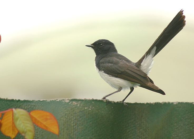 Willy-Wagtail is a passerine bird native to Australia, New Guinea, the Solomon Islands, the Bismarck Archipelago, and Eastern Indonesia.
