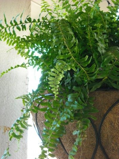 Pruning Boston Fern: How And When To Prune Boston Fern -  Boston ferns are among some of the most popular houseplants grown, but it is often necessary to cut them back in order to maintain their vigorous form. Learn more in this article.
