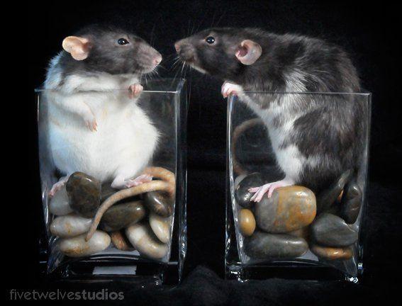 What do you want? - www.facebook.com/512studios #pets #rats