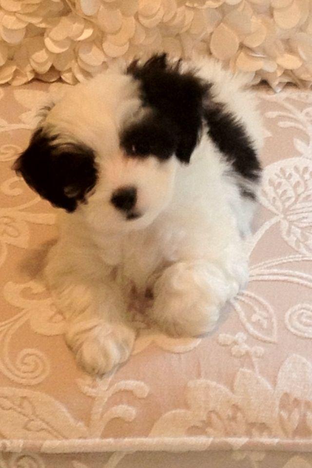 Maltipoo 5 weeks Cutiest pup ever! #maltipoo #dogs #cute