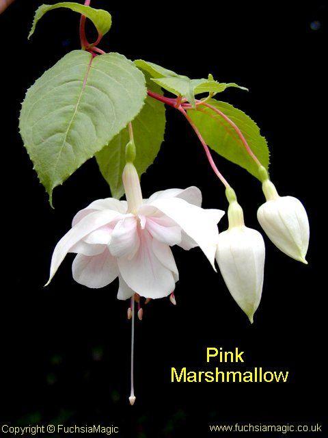 Fuchsia Pink Marshmallow