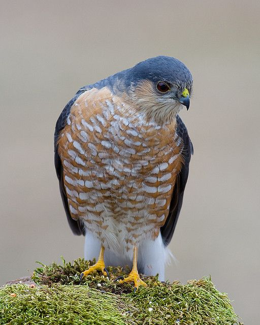 Sharp-shinned Hawk ............................................. Beautiful!!