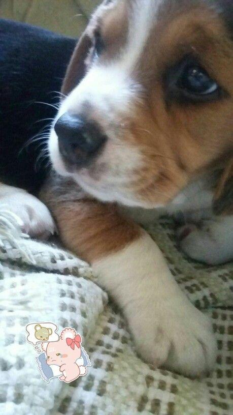 Beagle Lolla