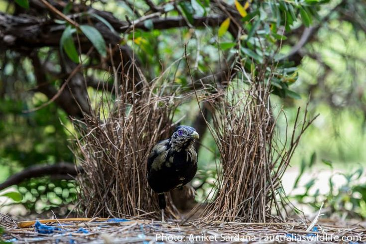 This sub-adult male #Satin #Bowerbird was photographed in one of the gardens on the New South Wales south #coast #aus_wildlife