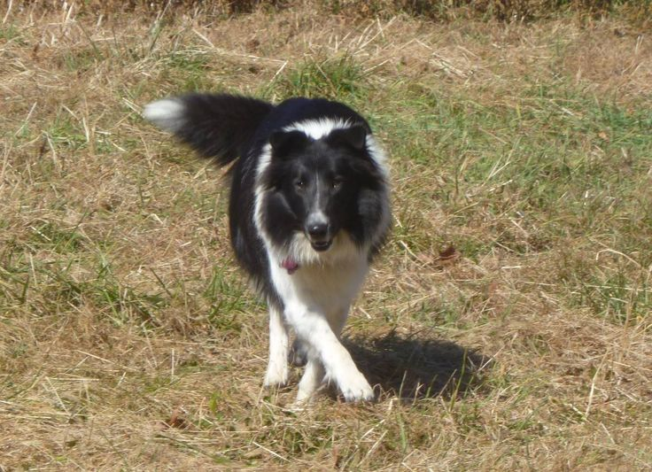 Old Time Scotch Collie - Eve