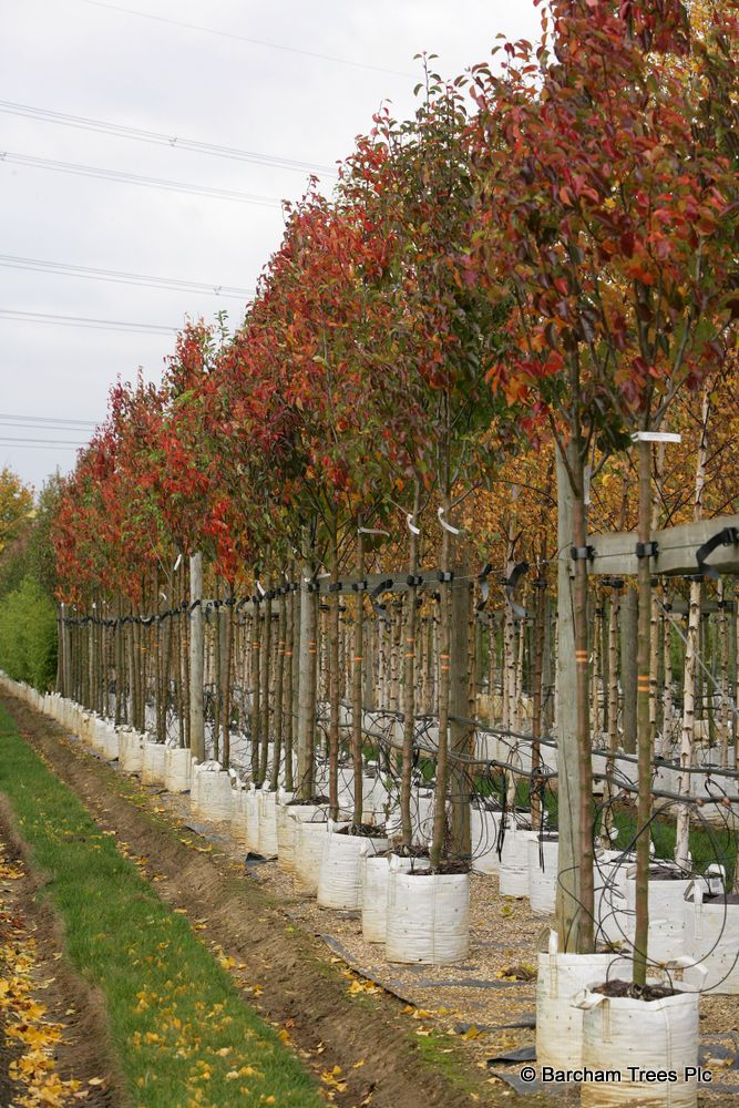 Mature Ornamental Pear Trees