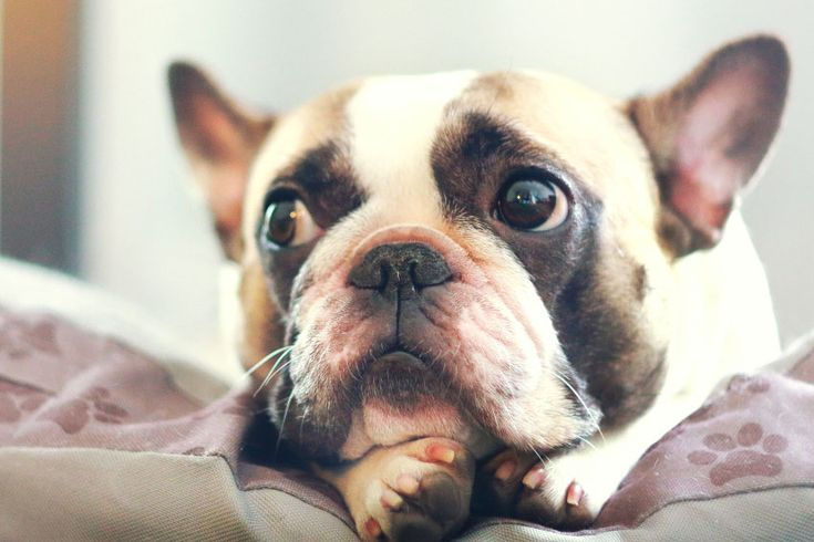 Here are important life lessons that are sometimes easy to forget in our hectic lives, that all French Bulldog owners must never forget...